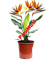 Райский Цветок семена + инструкция по высеву, фото 1