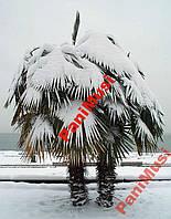Пальма морозостойкая семена + инструкция в подарок, фото 1
