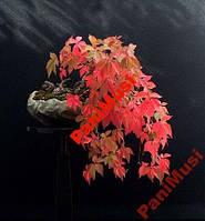 Красный Виноградный плющ 10шт+ подарок