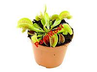 Венерина Мухоловка Dionaea muscipula Растение 1шт, фото 1