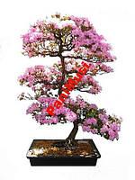 Царское Дерево 10шт. семян + в подарок инструкция, фото 1
