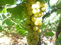 Саженцы  технического  винограда Цитронный  Магарача, фото 1