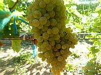 Саженцы  технического  винограда Буковинка, фото 1