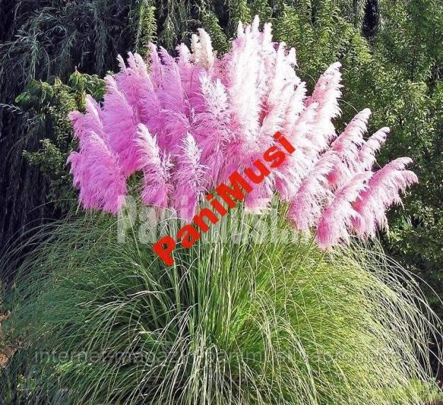 PОЗОВАЯ Пампасовая трава семена 5 штук семян