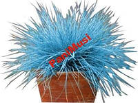 Синяя трава 10шт. семян + инструкция по высеву, фото 1