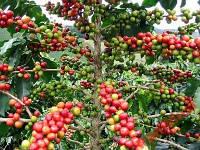 Кофейное дерево Инструкция + в подарок 2шт.семян