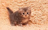 Купить котенка хайленда
