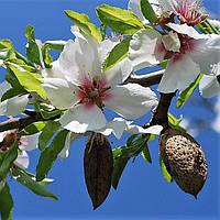 Натуральное косметическое масло Bitter Almond из горького миндаля