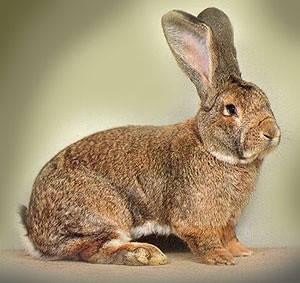 Написание обзорной статьи о породах кроликов.