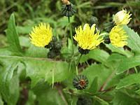 Осот желтый (осот жовтий), семена