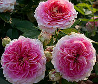 Роза Цезарь, фото 1