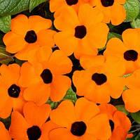 Семена цветов тунбергии Сюзанна оранжевая с глазком 100 семян