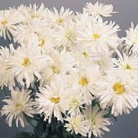 Семена цветов Ромашкы махровой Крейзи Дейзи 300 шт