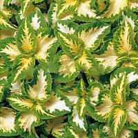Семена цветов колеуса Визард джед 100 шт