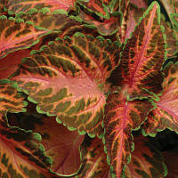 Семена цветов колеуса Визард корал санрайз 100 шт
