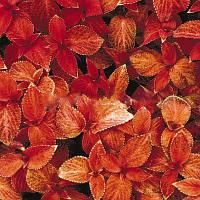 Семена цветов колеуса Визард корал сансет 100 шт