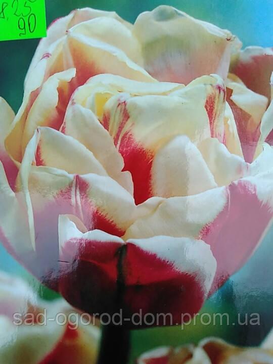 Тюльпан Махровий Wirosa