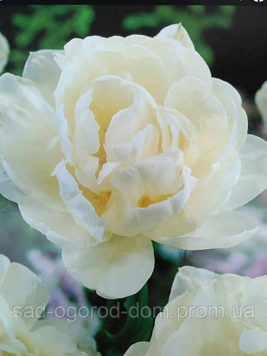 Тюльпан Махровый Mount Tacoma