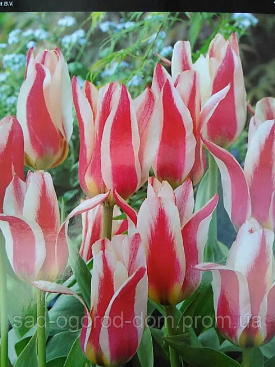 Тюльпан Грейга Buddy