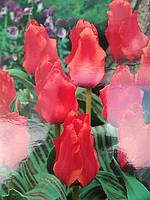 Тюльпан Грейга Red Riding Hood