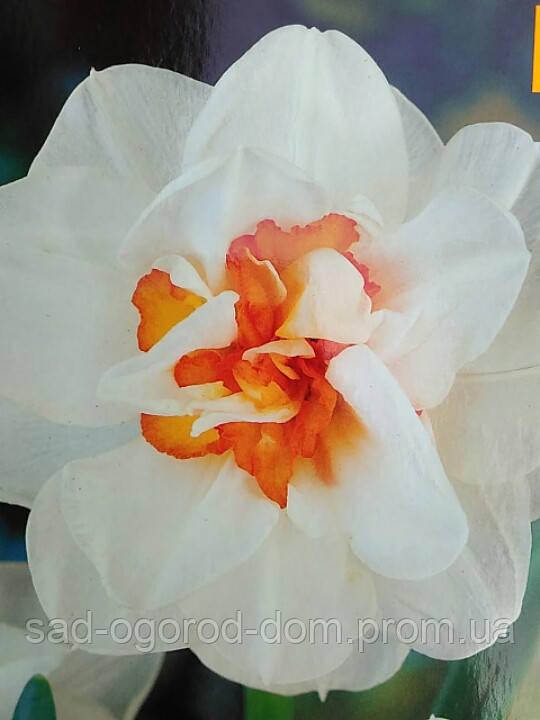 Нарцисс Flower Drift
