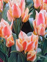 Тюльпан Многоцветковый Quebec