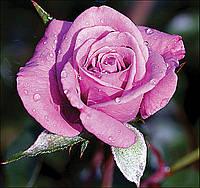 Роза миниатюрная Лавендер Джевел