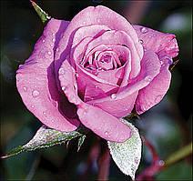 Троянда мініатюрна Лавендер Джевел