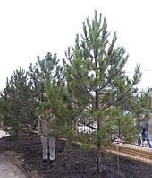 Сосна-крупномер (4,5-5,0м)