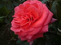 Мэйнтауэр роза