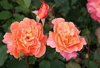 Вестерленд роза