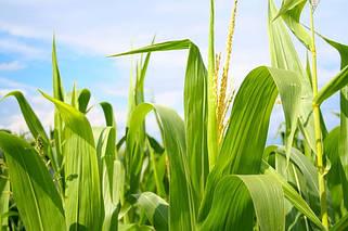 Семена кукурузы Украинской селекции.