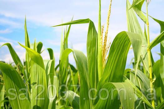 Семена кукурузы НС-2612