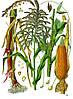Семена кукурузы НС-2612, фото 2