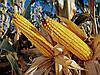 Семена кукурузы НС-400, фото 5