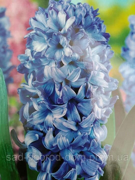 Гиацинт Delft Blue, 18\19