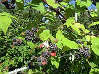 Гибрид ежевики и малины Кумберленд