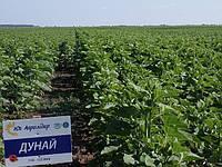 Улучшенный гибрид подсолнечник ДУНАЙ от компании Юг Агролидер. Продукт засухоустойчивый и устойчив к 5 (пяти) расам заразихи.