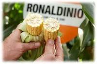 Кукурудза  Роналдініо (ФАО 210)