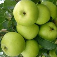 Саженцы яблони Ренет Симиренко, стандартные 2-х летки