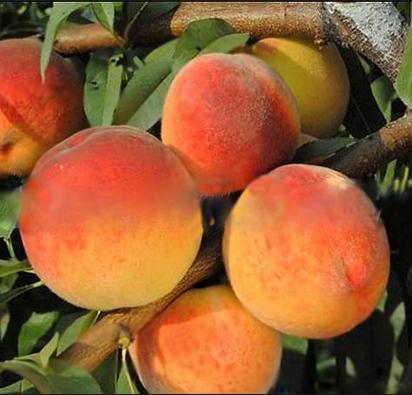 Саженцы персика сорт Вайн Голд