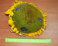 Насіння соняшнику під Гранстар (Експрес) - АНТЕЙ