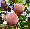 Саженцы персика сорт Днепровский
