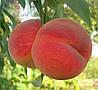 Саженцы персика сорт Лакомый
