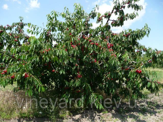 Черешня, вишня, абрикос, персик, яблоня, груша, слива купить саженцы, почтой  по Украине, двухлетние, развитые
