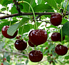 Саженцы вишни сорт Встреча