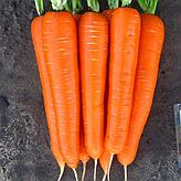 Как правильно посеять морковь осенью