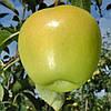 Саженцы яблони сорт Голден Делишес