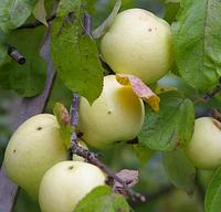 Саженцы яблони сорт Золотой Монах