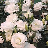 Mariachi 2 Pure White (Мариачи 2 Пур Вайт)